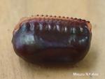 ヤマトゴキブリ卵鞘