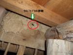 床下にクロゴキブリ卵