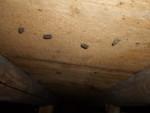 床板裏ゴキブリ卵