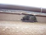 庇かえりに隠れるコウモリ