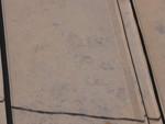 アライグマ足跡2