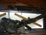 筋かい部分の天井板を破るアライグマ被害