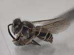 クロスズメバチ2