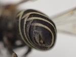 クロスズメバチおしり