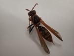 r101セグロアシナガバチ1