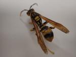 r105ヤマトアシナガバチ1