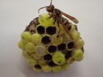 r106ヤマトアシナガバチ2