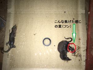 トガリネズミのフン