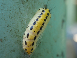 キアシドクガ蛹1