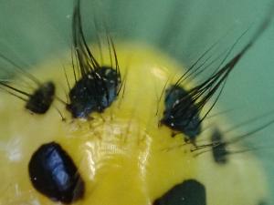 キアシドクガ蛹2