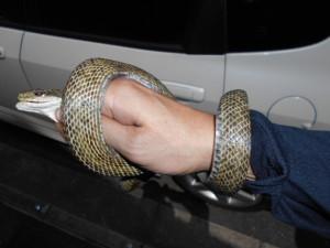 緊急ヘビ捕獲2