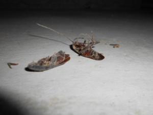 床下のゴキブリ1