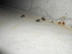 床下のゴキブリ3