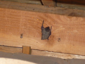B03天井裏のコウモリ発見①