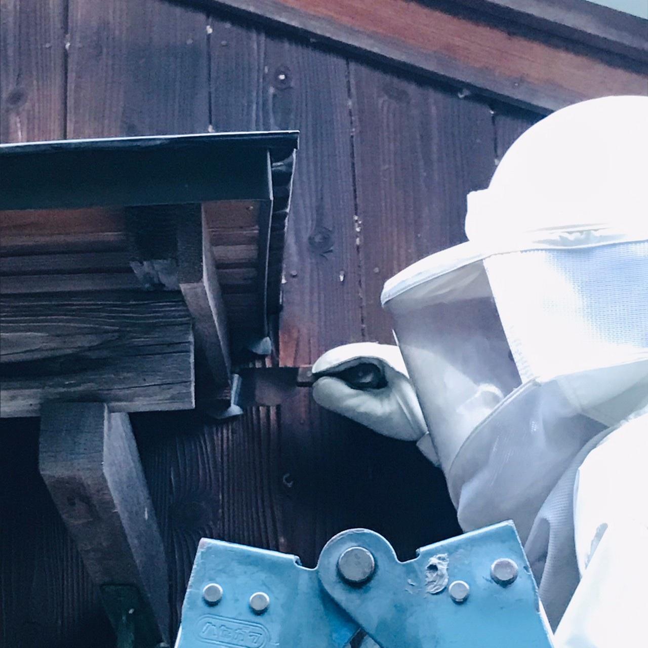 東近江市スズメバチ駆除、外壁すき間のキイロスズメバチ駆除